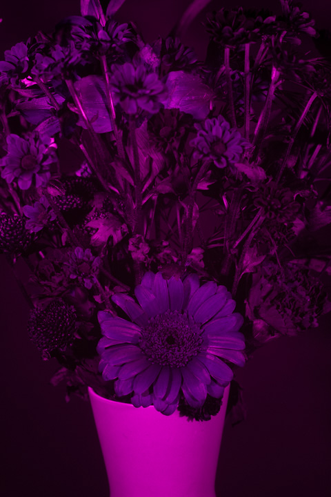 UV photograph of a vase of flowers taken with the Nikon 50mm f/1.4 D lens