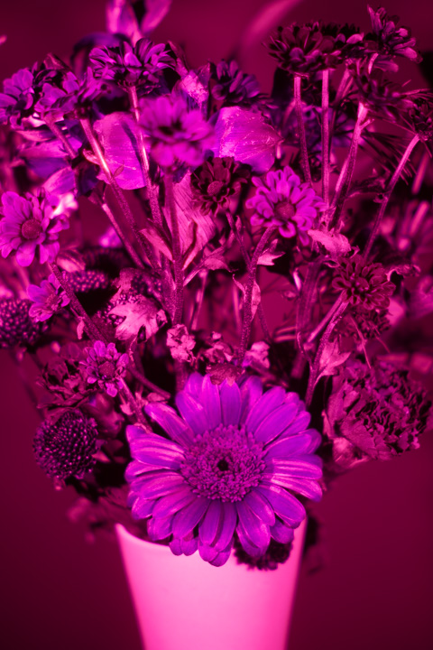 UV photograph of a vase of flowers taken with the Schneider Kreuznach Super Cinelux 50mm f/2 lens