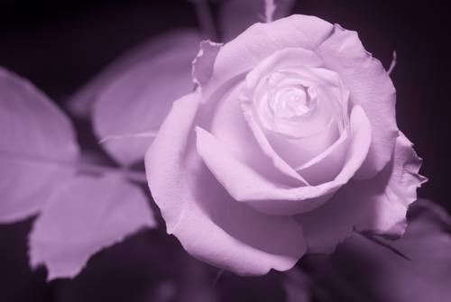 Photo of rose in infrared light