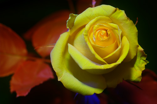 Multispectral (UV-Vis-IR) photo of rose