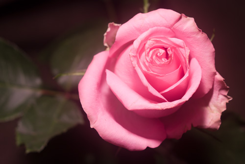 Photo of rose in visible light