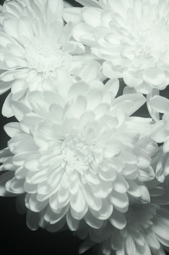 Photo of flower in infrared light