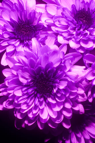 Photo of flower in ultraviolet light