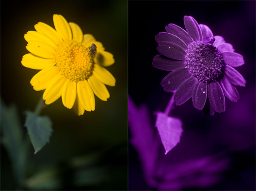 Visible and UV photos of a yellow daisy like flower