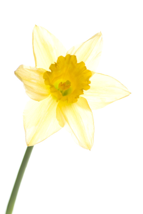 Visible light photo of a Daffodil