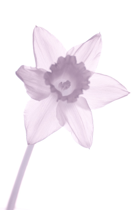 Infrared photo of a Daffodil