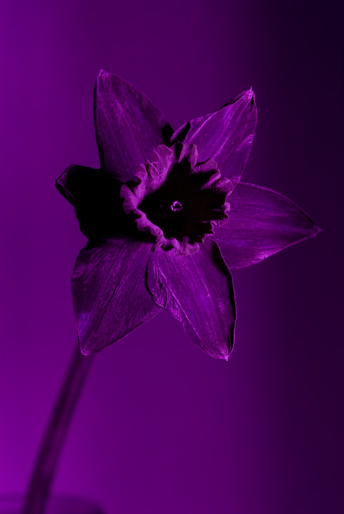 Ultraviolet photo of a daffodil taken using Fuji IS Pro with EL-Nikkor 75mm f/4 N lens and Baader U-Filter