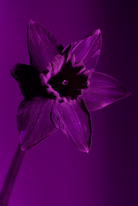 Ultraviolet photo of a daffodil taken using Fuji IS Pro with Wray 3¼in. f/4.5 Supar lens and Baader U-Filter