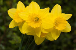 Photo of daffodil flowers taken with Fujifilm X-A1 camera with 16-50mm lens and Sonia +1 close-up filter attached