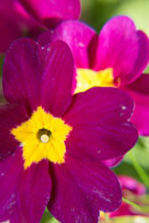 Photo of purple primula flower taken with Fujifilm X-A1 camera with 16-50mm lens and Sonia +10 close-up filter attached