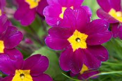 Photo of purple primula flowers taken with Fujifilm X-A1 camera with 16-50mm lens and Sonia +10 close-up filter attached