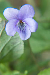 Photo of violet flower taken with Fujifilm X-A1 camera with 16-50mm lens and stacked Sonia +10 and +4 close-up filters attached