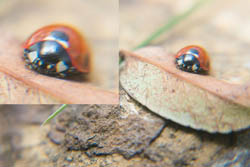 Photo of ladybird taken with Fujifilm X-A1 camera with 16-50mm lens and stacked Sonia +10, +4, +2, and +1 close-up filters attached. Photo with ladybird near the edge of the frame.
