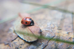 Photo of ladybird taken with Fujifilm X-A1 camera with 16-50mm lens and stacked Sonia +10, +4, +2, and +1 close-up filters attached.