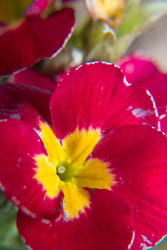 Photo of red primula flower taken with Fujifilm X-A1 camera with 16-50mm lens and stacked Sonia +10, +4, +2, and +1 close-up filters attached.