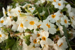 Photo of primrose flowers taken with Canon 450D camera with 18-55mm IS lens and Sonia +2 close-up filter attached