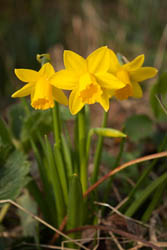 Photo of small daffodil flowers taken with Canon 450D camera with 18-55mm IS lens and Sonia +2 close-up filter attached