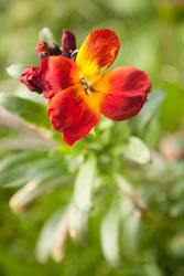 Photo of wallflower taken with Canon 450D camera with 18-55mm IS lens and Sonia +2 close-up filter attached