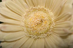 Photo of gerbera flower taken with Canon 450D camera with 18-55mm IS lens and Sonia +4 close-up filter attached