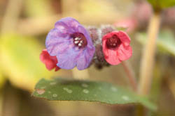 Photo of lungwort flowers taken with Canon 450D camera with 18-55mm IS lens and Sonia +4 close-up filter attached