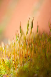 Photo of moss sporophytes taken with Canon 450D camera with 18-55mm IS lens and Sonia +4 close-up filter attached