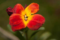Photo of wallflower taken with Canon 450D camera with 18-55mm IS lens and Sonia +4 close-up filter attached